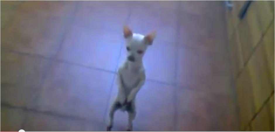 perro-baila-flamenco