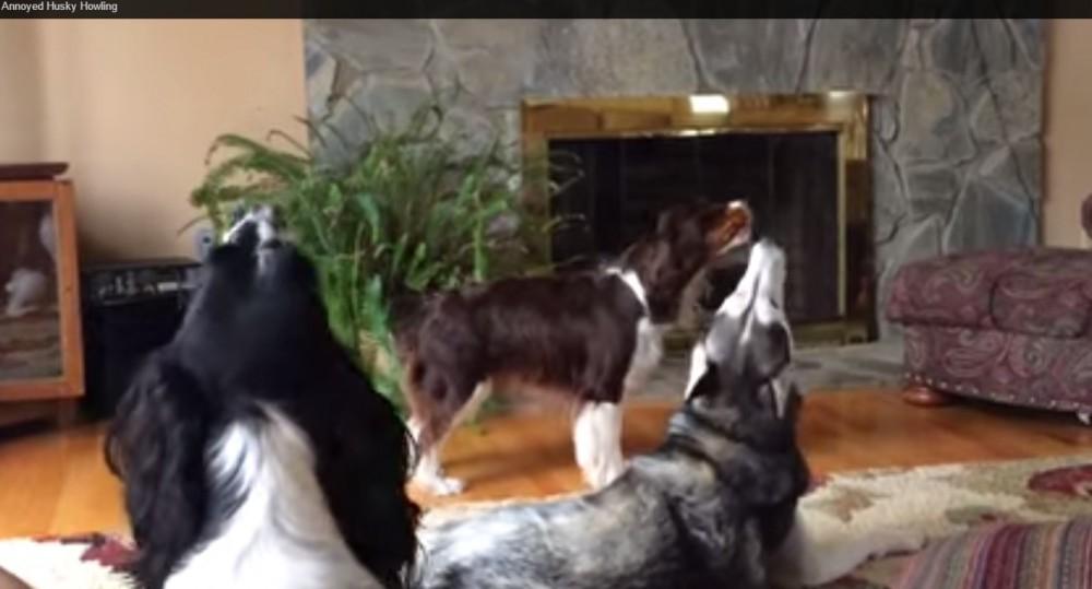 Escucha todo un coro canino!