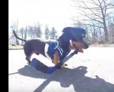 ¿Quién dijo que los perros no pueden ser deportistas Mira lo que estos perros salchichas pueden hacer