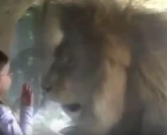 Esta niña quiso besar al león pero no recibió la misma respuesta, ¡no te pierdas el video!
