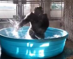 dancing_gorilla_1_848x480_974528067727